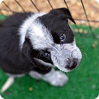 Adopt A Pet :: Dolly - Garland, TX
