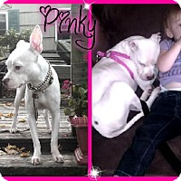 Chihuahua/Staffordshire Bull Terrier Mix Dog for adoption in Rockaway, New Jersey - Pinky