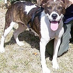 Photo 2 - Hound (Unknown Type)/American Bulldog Mix Dog for adoption in Potomac, Maryland - Ellie May