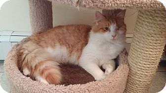 Domestic Longhair Cat for adoption in Manasquan, New Jersey - Orange White LH Young Male