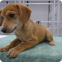 Adopt A Pet :: Angel - Manning, SC