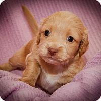 Adopt A Pet :: Gallo - Weeki Wachee, FL