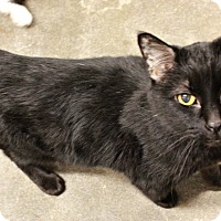 Domestic Shorthair Cat for adoption in New Richmond,, Wisconsin - Billy Boy