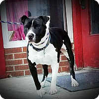 American Staffordshire Terrier Mix Dog for adoption in Kewanee, Illinois - Lucky