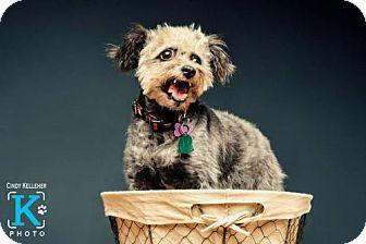 Standard Schnauzer/Poodle (Miniature) Mix Dog for adoption in San Antonio, Texas - Stormy