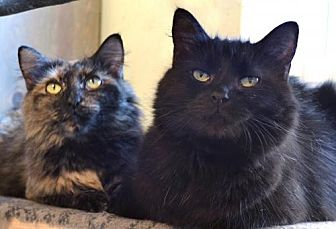 Domestic Longhair Cat for adoption in Johnson City, Tennessee - Basil and Curry