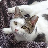 Adopt A Pet :: BumbleBee-Loveseeking Kitty'14 - New York, NY