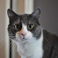 American Shorthair Cat for adoption in Tanner, Alabama - Fluffy Tail