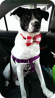 Basenji Mix Dog for adoption in Vancouver, British Columbia - Tally