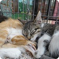 Adopt A Pet :: Dumpster Kittens - Elyria, OH