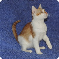 Domestic Shorthair Kitten for adoption in Plano, Texas - GOLDFISH - FUNNY KITTY