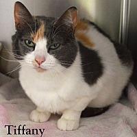 Domestic Shorthair Cat for adoption in Fryeburg, Maine - Tiffany