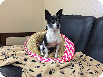 Chihuahua Mix Dog for adoption in Cumming, Georgia - Sergio