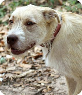 Wirehaired Fox Terrier Mix Dog for adoption in The Woodlands, Texas - Ginger