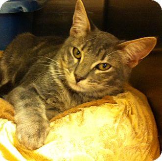 Domestic Shorthair Kitten for adoption in Madisonville, Louisiana - Gus