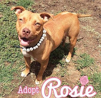 American Staffordshire Terrier Mix Dog for adoption in Los Angeles, California - Rosie