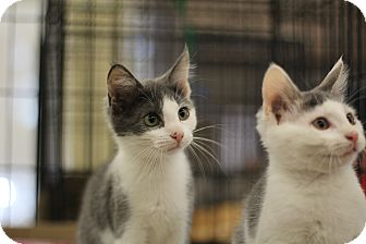 Domestic Shorthair Kitten for adoption in Richmond, Virginia - Thyme