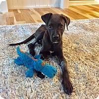 Adopt A Pet :: Ralphie - Columbus, OH