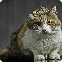 Calico Cat for adoption in Los Angeles, California - Callie