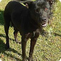 Labrador Retriever Mix Dog for adoption in Newport, North Carolina - Momma