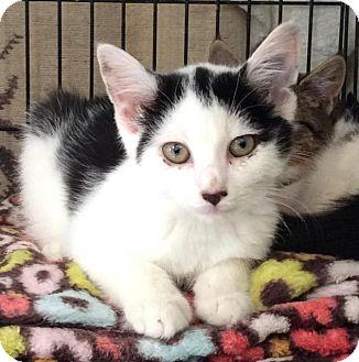 Domestic Shorthair Kitten for adoption in Breinigsville, Pennsylvania - Theo