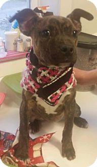 American Pit Bull Terrier Mix Puppy for adoption in Pompton Lakes, New Jersey - Cece