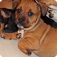 Adopt A Pet :: Marcie - Fayette, MO