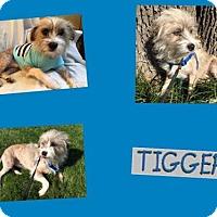 Adopt A Pet :: TIGGER - Plano, TX