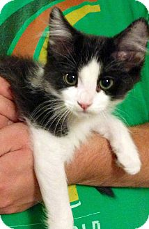 Domestic Mediumhair Kitten for adoption in Green Bay, Wisconsin - Alfalfa