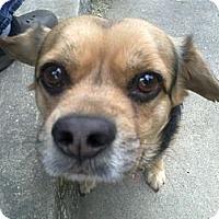 Adopt A Pet :: Gotti - Cumberland, MD