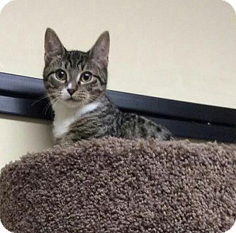 Domestic Shorthair Cat for adoption in Brooklyn, New York - COOPER - ADOPTED!