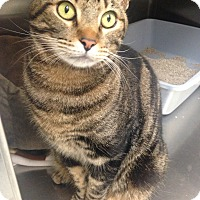 Adopt A Pet :: Tiger - Newport Beach, CA