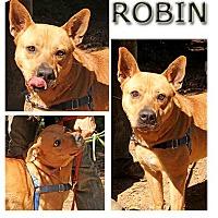 Adopt A Pet :: Robin - marin county, CA