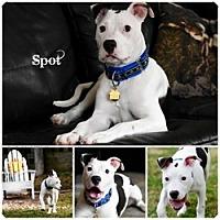 Adopt A Pet :: Spot - Sioux Falls, SD