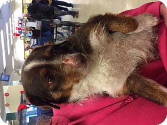 Australian Shepherd Mix Dog for adoption in Fresno, California - Chula