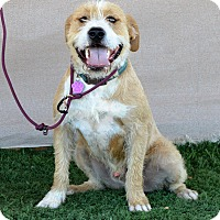 Terrier (Unknown Type, Medium)/Retriever (Unknown Type) Mix Dog for adoption in La Quinta, California - Bentley