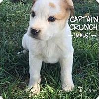 Adopt A Pet :: Captain Crunch - Red Bluff, CA