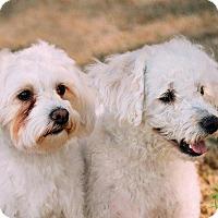 Maltese/Poodle (Standard) Mix Dog for adoption in Scottsdale, Arizona - Jack