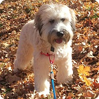 Adopt A Pet :: Guinness - No Longer Accepting Applications 11/4 - St. Louis Park, MN