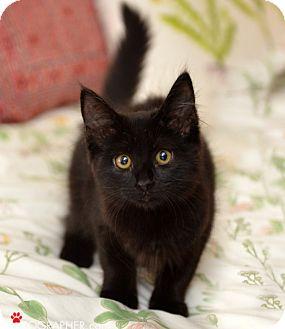 Domestic Shorthair Kitten for adoption in San Francisco, California - Vivi