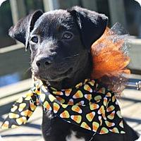 Adopt A Pet :: Boo-boo - SOUTHINGTON, CT