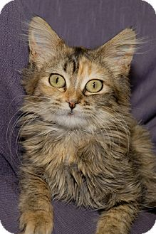 Domestic Longhair Cat for adoption in Red Wing, Minnesota - Sally