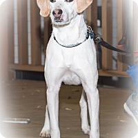 Foxhound/Beagle Mix Dog for adoption in Virginia Beach, Virginia - Hardee