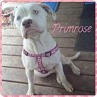 Adopt A Pet :: Primrose - Gerrardstown, WV