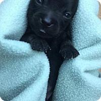 Adopt A Pet :: Siskin - Dallas, TX