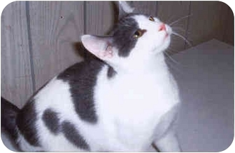 Domestic Shorthair Kitten for adoption in Syracuse, New York - Jerry
