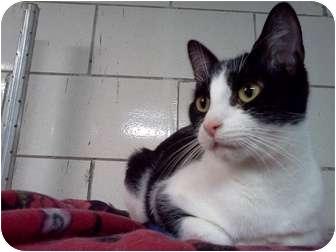 Domestic Shorthair Cat for adoption in Centerburg, Ohio - Midge