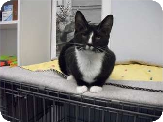 Domestic Shorthair Cat for adoption in Modesto, California - Blaze