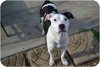 American Staffordshire Terrier/Pit Bull Terrier Mix Dog for adoption in Nashville, Tennessee - Polly Pocket
