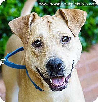 Labrador Retriever/Shar Pei Mix Dog for adoption in Atlanta, Georgia - Joss